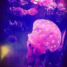 Coming soon to our online shop - Spotted Lagoon Jellyfish!