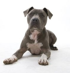 Junior Millan — Blue nose American Pitbull Pitbulls are effectively banned in Australia BSL legislation introduced in QLD (2009) NSW (2006) WA (2006) VIC (2005) SA (2004) The law states that Pitbulls may no longer be sold, given away, or…