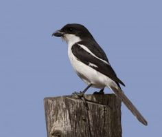 The Southern Fiscal (Lanius collaris) is a member of the shrike family found through most of Sub-Saharan Africa. It is also sometimes named Jackie Hangman or Butcher Bird due to its habit of impali. South African Birds, Watercolor Bird, Bird Watching, Southern, Animals, Amazing, Garden, Animales, Garten