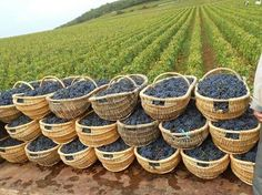 Vendanges en Médoc I would love to pick these for a living, even if it was in exchange for a room!!