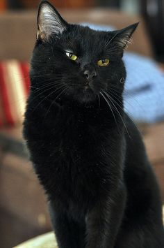 Gorgeous black cat.