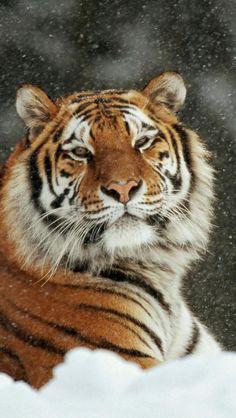 The Beauty of Wildlife : Photo Siberian Tiger Vida Animal, Mundo Animal, I Love Cats, Big Cats, Beautiful Cats, Animals Beautiful, Panthera Tigris Altaica, Animals And Pets, Cute Animals