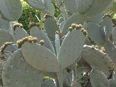 Chumbera (Opuntia) http://www.elhogarnatural.com/Cactaceas.htm