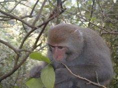 MACACO - Macaco de Formosa- FeedingPhotoMinnaJHsu-3-