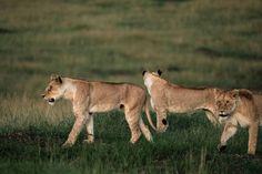 """Résultat de recherche d'images pour """"LION"""""""