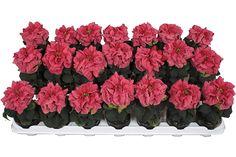 Euphorbia Valentino Pink tray