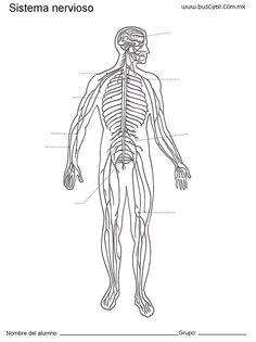 Las Mejores 13 Ideas De Sistema Nervioso Central Sistema Nervioso Sistema Nervioso Central Nervioso