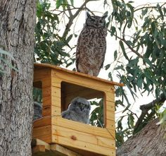Barred owls how to build nesting box - instructions | Owls ...