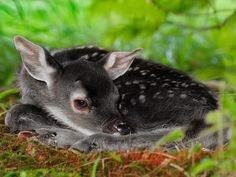"""officialaudreykitching:witlovesyou:A very unusual genetic color variation in white-tailed deer — rarer even than albinism — produces all-black offspring in that species which are known as """"melanistic"""" or """"melanic"""" deer. Unusual Animals, Rare Animals, Animals Beautiful, Animals And Pets, Exotic Animals, Baby Animals Pictures, Cute Animal Pictures, Cute Baby Animals, Tier Wallpaper"""