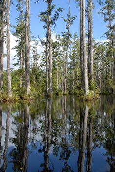 Natur statt Geschichte: Knapp eine Autostunde nördlich von Charleston bietet Cypress Gardens Möglichkeiten für Spaziergänge und kurze Kanutouren durch eine Sumpflandschaft voller Seerosen, mit sich im Wasser spiegelnden Bäumen und kleinen Alligatoren. Foto: dpa