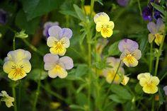 Sarviorvokki - Viola cornuta