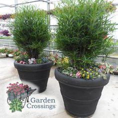 Rhamnus Fine Line, vertical interest for container combinations #provenwinners #gardencrossings