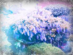 lilac magic #flowers #lilacs
