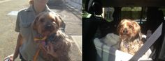 "Anyone here know who might be missing this Pup? (wildwood)  FOUND 4/30/14 @ 7:45 am - MALE SENIOR SILKY TERRIER ""BAILEY"" - Thousand Oaks @ Lynn Road (Wildwood). Dog wearing blue harness and blue collar with tags. Two phone numbers listed (805) and (818) area codes. (805) says not their dog. (818) is disconnected. Tag says microchipped but chip could not be found. Second Tag says LPP Rescue - no answer. Dog is being housed at Agoura Animal Shelter."