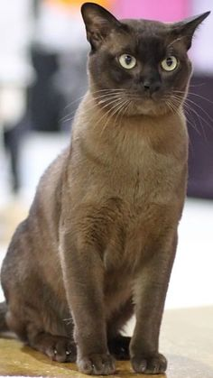 The Burmese Cat - Cat Breeds Encyclopedia.    The Burmese Cat Kittens first came to America in 1930 when Dr. Joseph Thompson of San Francisco brought a small walnut brown female cat from Burma.  #Burmese #Cat #kittens #Breed #BurmeseCat #BurmeseKittens