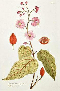 Joseph Plenck  Lipstick Tree - Bixa orellana.  Late 18th century