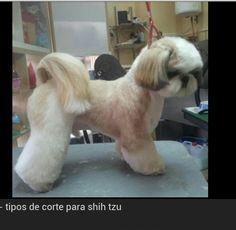 """shih tzu with a proper hair cut"" I prefer the coat shaggier"