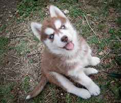 Siberian husky Red and White