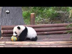 Cute panda cub playing ball - YouTube