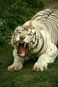 Devilish white tiger - My Cats - Happy cats Nature Animals, Animals And Pets, Baby Animals, Cute Animals, Wild Animals, Fierce Animals, Big Cats, Cool Cats, Cats And Kittens