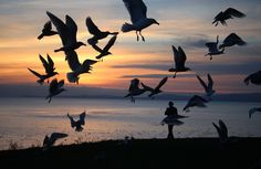 Just as the sun was going down I saw this flock of birds and love the way they… Flock Of Birds, National Geographic Photos, Your Shot, I Saw, Flocking, Amazing Photography, Shots, Community, Sun
