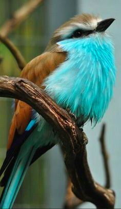 Exotic birds - Racket-tailed Roller bird - photo by Pat Ulrich Wildlife Photography Pretty Birds, Love Birds, Beautiful Birds, Animals Beautiful, Cute Animals, Wild Animals, Nature Animals, Pretty Animals, Wildlife Nature