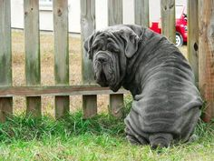 Neopolitan Mastiff. THEM WRINKLES! They go on and on and ONNNNNN.  Image via Pet Paw