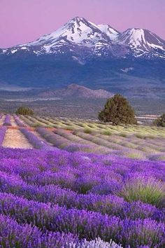 Lavender Fields and Snow-Capped Peaks