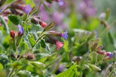 Longkruid / Pulmonaria