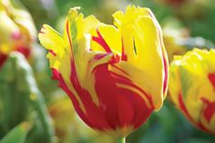 parrot tulip texas flame.. I saw these at the Biltmore estate in Asheville, NC. They became my favorite flower at first sight!