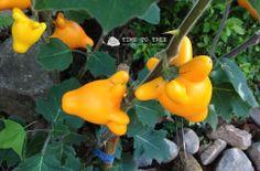 มะเขือประดับ หรือมะเขือการ์ตูน Nipplefruit / Solanum mammosum is commonly known as nipplefruit, titty fruit, cow's udder, or, ambiguously,