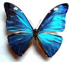 MORPHO-MARCUS-HUALLAGA-ADONIS-unmounted-butterfly
