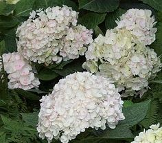 Endless Summer® marked a breakthrough in Bigleaf Hydrangeas by flowering in spring on old wood and then in summer on new wood. Now we introduce its white-flowered sibling with the same dark green leaves and 9in flowers, but earlier rebloom. The flowers of 'Blushing Bride' age to blush or pale sky blue depending on the pH of your soil. Tests are underway to evaluate its performance in Zone 4. PP 17,169, lovely