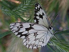 Iberisches Schachbrett   Melanargia lachesis   Iberian Marbled White Schmetterlinge und Raupen Südeuropas Griechenland Italien Südfrankreich Spanien Portugal Korsika Sardinien Kroatien Schmetterling