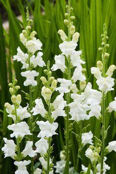 Antirrhinum majus 'Royal bride' - Løvemund, farve: hvid/duftende,  lysforhold: sol, højde: 60-90 cm, blomstring: juni - frost, 1-årig sommerblomst, men flerårig i midt klima.
