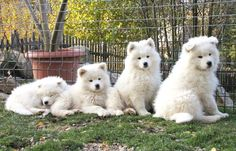 staying still for a photo Samoyed Dogs, Pet Dogs, Dogs And Puppies, Doggies, Animals And Pets, Baby Animals, Cute Animals, Happy Puppy, White Dogs