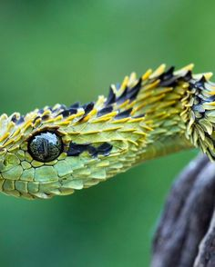 Bush Viper Snake | Most Beautiful Pages