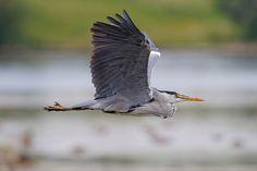 """in flight The Grey Heron """"Ardea cinerea"""""""