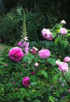 english roses, pink roses, fox, yard, color, cottage gardens, glove, flower, peoni