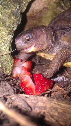 Awe he looks so excited about to eat his strawberry :) Turtle Eating Strawberry, Giant Tortoise, Tortoises, Amphibians, Guinea Pigs, Cute Pictures, Cute Animals, Creatures, Strange Animals