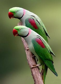 Green and red parrots