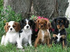 "King charles cavalier spaniels...  Definitely considering as our next pet.  A couple had one of these dogs and he was so sweet.  The wife said she'd researched family dogs and that these were nicknamed ""love sponges."""