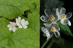 Diphylleia grayi, fiore che a contatto con l'acqua diventa trasparente