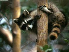 Blogue de sayrakidos :Vida animal, guaxinim