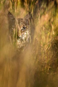 I saw this bobcat while photographing birds a few  days in a row so I decided to set up low on the grass near the path he would follow and wait for that moment. National Geographic
