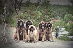 Hillhaven gang  #Leonberger #Leonberg #Sullu #Agro #Otso  #Hillhavenleonbergers #Delboy #Boys