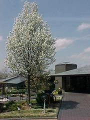 JaynesGarden: Trees and their Lives Pyrus, Photo Reference, Garden Plants, Pear, Bloom, Sky, Landscape, Outdoor, Life