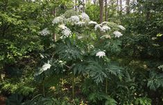 Giant Hogweed and Common Hogweed Identification