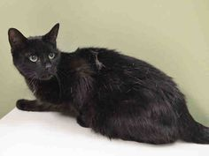 MAXIE - A1032713 *** TO BE DESTROYED 04/25/15 **** NEW FURNITURE TRUMPS MAXIE!! MAXIE'S owners never gave her a scratching post and when they decided to get new furniture they casually discarded her at the ACC.....MAXIE has quite a lot to recommend her.....She has lived with children, dogs and another cat and gotten along with everybody. She is just 5 years old and healthy except for the lovely cold that the ACC gave her...THIS CAT IS A PRIZE!! IF YOU ARE LOOKING FOR A FAMILY CAT OR A CAT…