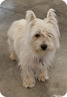 Urbana, OH - Westie, West Highland White Terrier/Jack Russell Terrier Mix. Meet Pigglet, a dog for adoption. http://www.adoptapet.com/pet/14602632-urbana-ohio-westie-west-highland-white-terrier-mix